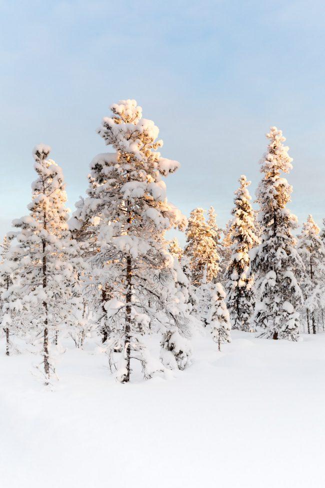 besneeuwde bomen in lapland met zonlicht