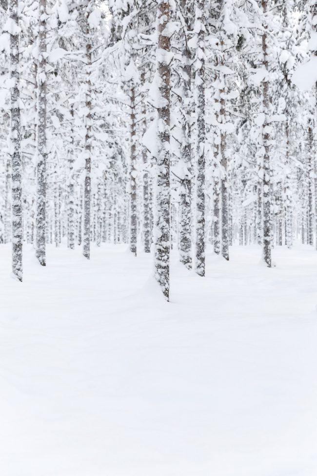 besneeuwde bomen in lapland